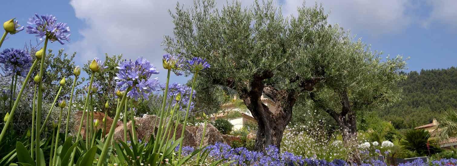 Aménagement Paysager,un olivier et des agapanthes dans votre jardin