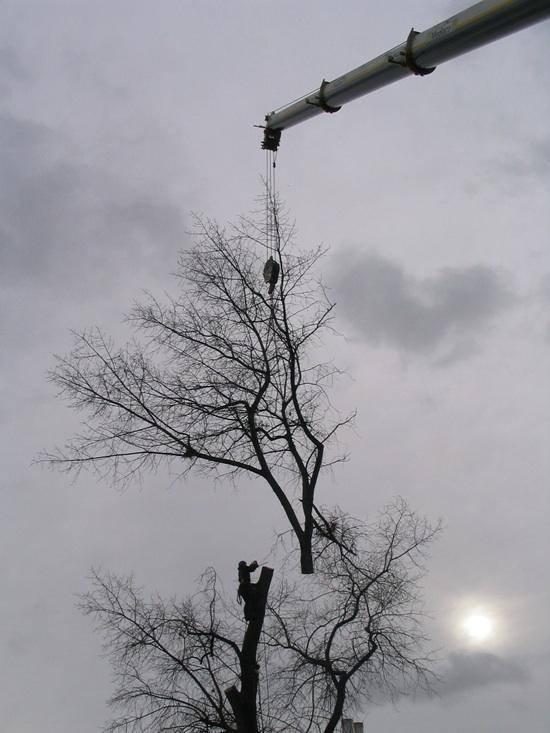 Elagage d'un grand arbre à l'aide d'une grue